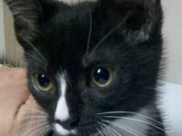 Domestic Short Hair - Black - Addy- New Kitten! -