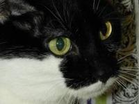Domestic Short Hair - Black - Amelia - Medium - Senior