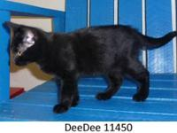 Domestic Short Hair - Black My name is Gemini and I'm