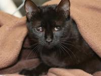 Domestic Short Hair - Black Mavis is a one year old