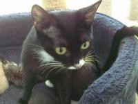 Domestic Short Hair - Black This very friendly sweet