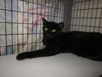 Domestic Short Hair - Black We are sweet kitties in