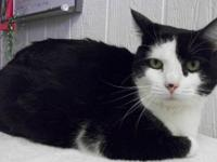 Domestic Short Hair - Black Flame is 1 yr. old and is