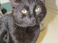 Domestic Short Hair - Black Shadow/cookie is a gorgeous