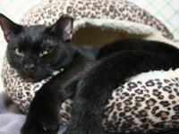 Domestic Short Hair - Black COURTESY POSTING: PLEASE