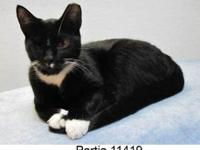 Domestic Short Hair - Black and white - 8 Ball - Small