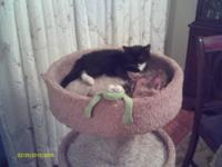 Domestic Short Hair - Black and white - Adelia - Medium