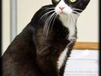 Domestic Short Hair - Black and white - Alto - Medium -