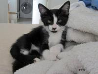 Domestic Short Hair - Black and white - Amazon - Medium