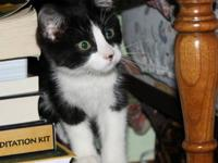 Domestic Short Hair - Black and white Frank Sinatra,AKA