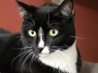 Domestic Short Hair - Black and white Jasmine has been