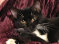 Domestic Short Hair - Black and white Columbus is an