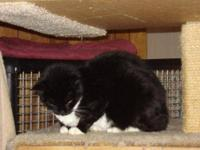 Domestic Short Hair - Black and white - Andi - Medium -