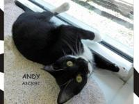 Domestic Short Hair - Black and white - Andy - Small -
