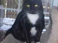 Domestic Short Hair - Black and white - Angel - Large -