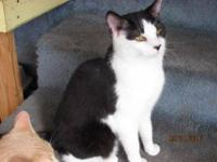 Domestic Short Hair - Black and white - Angus - Medium