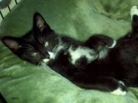 Domestic Short Hair - Black and white - Avocet - Medium