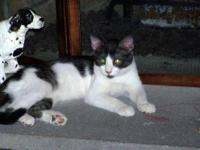 Domestic Short Hair - Black and white - Baby Girl8434-1