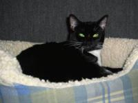 Domestic Short Hair - Black and white - Bella - Medium