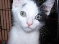 Domestic Short Hair - Black and white - Bessie - Small