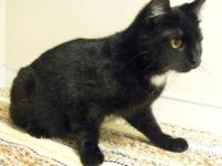 Domestic Short Hair - Black and white - Bethany -