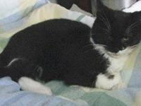 Domestic Short Hair - Black and white - Betsy - Medium