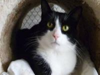 Domestic Short Hair - Black and white - Betty - Medium