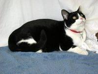 Domestic Short Hair - Black and white - Big