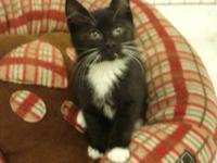 Domestic Short Hair - Black and white - Biscuit -