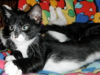 Domestic Short Hair - Black and white - Black/white