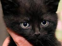 Domestic Short Hair - Black and white - Blackie -