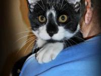 Domestic Short Hair - Black and white - Buccaneer -