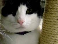 Domestic Short Hair - Black and white - Byrd - Large -