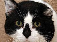 Domestic Short Hair - Black and white - C13-144 - Small