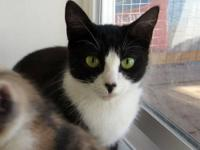 Domestic Short Hair - Black and white - Calandra -