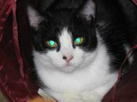 Domestic Short Hair - Black and white - Captain -