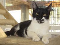 Domestic Short Hair - Black and white - Caracara -