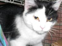 Domestic Short Hair - Black and white - Casey - Medium