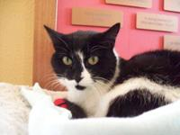 Domestic Short Hair - Black and white - Cassie - Medium