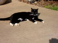 Domestic Short Hair - Black and white - Cleveland -