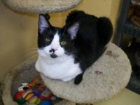 Domestic Short Hair - Black and white - Cocoa - Medium