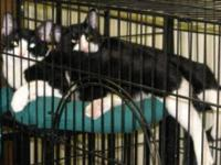 Domestic Short Hair - Black and white - Cola - Medium -