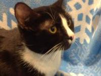 Domestic Short Hair - Black and white - Cookie - Large