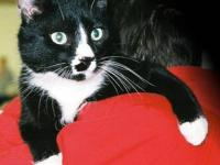 Domestic Short Hair - Black and white - Cory - Medium -