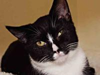 Domestic Short Hair - Black and white - Daisy - Medium