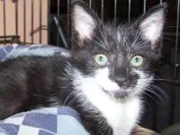 Domestic Short Hair - Black and white - Della - Small -
