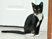Domestic Short Hair - Black and white - Diana - Medium