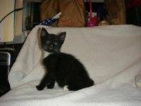Domestic Short Hair - Black and white - Dottie - Medium