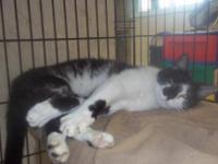 Domestic Short Hair - Black and white - Eddie - Large -
