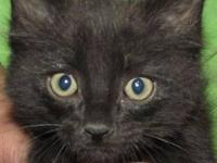 Domestic Short Hair - Black and white - Edgar - Small -